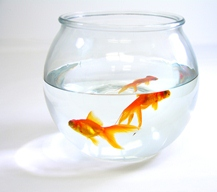 Your First Goldfish Tank Which Is The Better Option