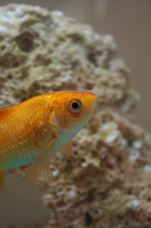 Pet Goldfish Disadvantages Image