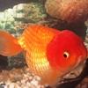 Lionhead Goldfish Image