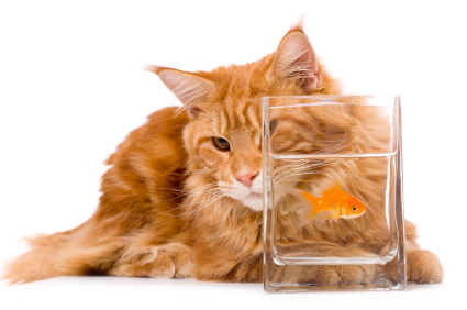Maine coon cat and goldfish food nutrition