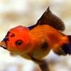 Oranda Goldfish Image