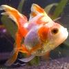 Ryukin Goldfish Image