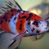 Shubunkin Goldfish Image