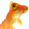 Telescope Goldfish Image