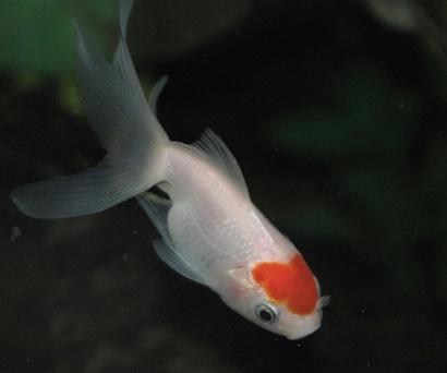 Goldfish free from goldfish diseases
