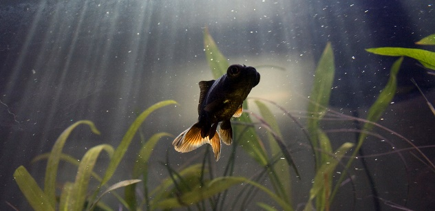 Healthy water conditions prevent goldfish ailments