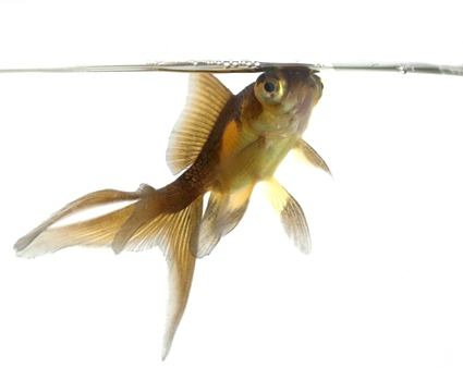Poor water quality causes goldfish ailments