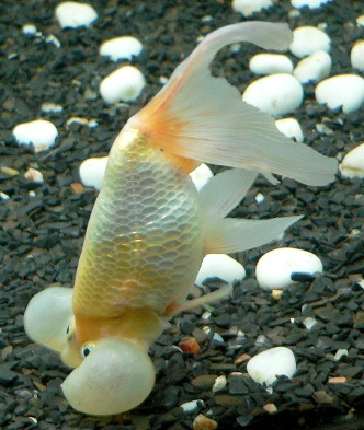 Fight common goldfish diseases