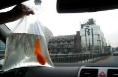 Image of Buying Goldfish