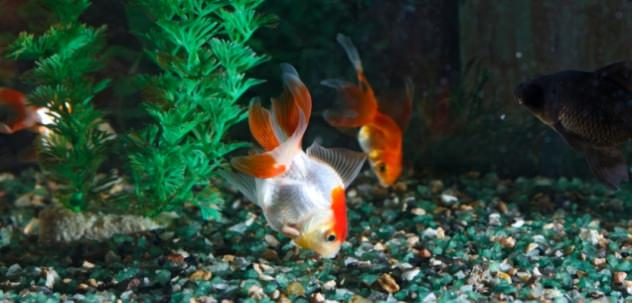 Healthy goldfish with proper goldfish care