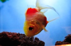 Goldfish disease symptoms image