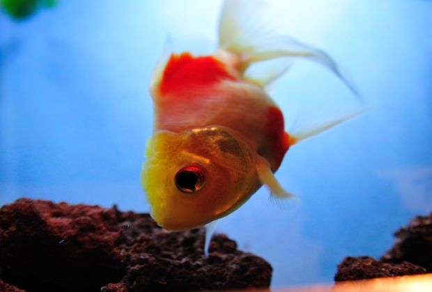 Image of Goldfish Disease Symptoms