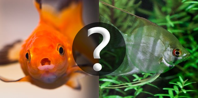 Goldfish and tropical fish compatibility