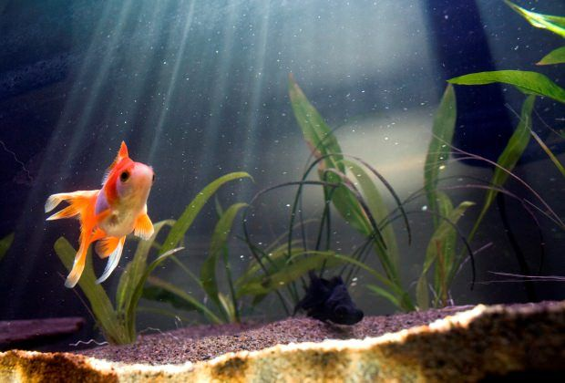 12 Most Common Goldfish Types Which Do You Prefer Complete