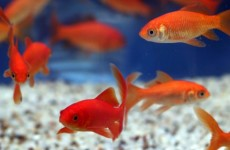 Goldfish Care Benefits