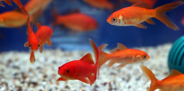 Why goldfish are good pets