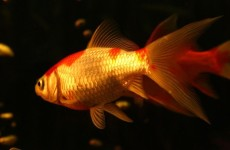 Prevent goldfish ailments
