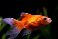 treat common goldfish diseases
